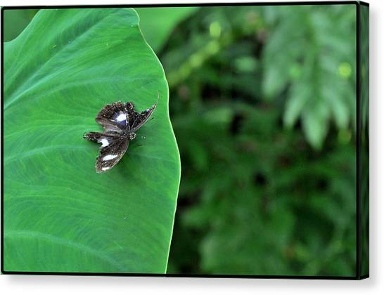 Black Butterfly Canvas Print by Achmad Bachtiar