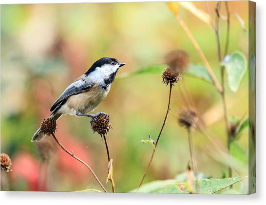 Black Capped Chickadee 1 Canvas Print
