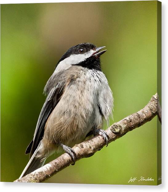Black Capped Chickadee Singing Canvas Print
