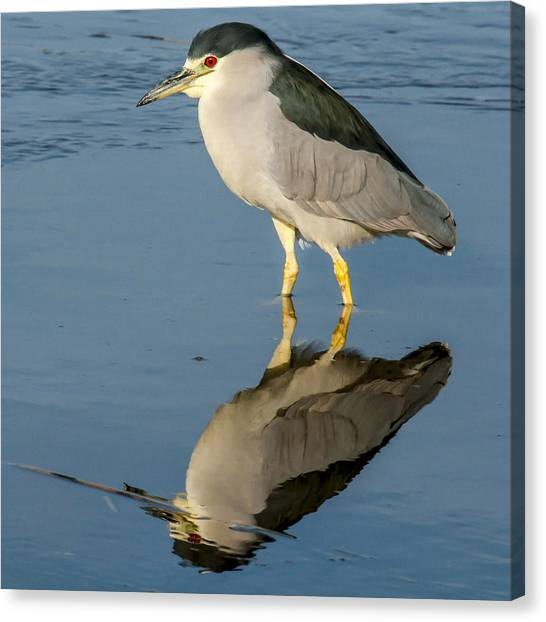 Black Capped Night Heron 6531 Canvas Print