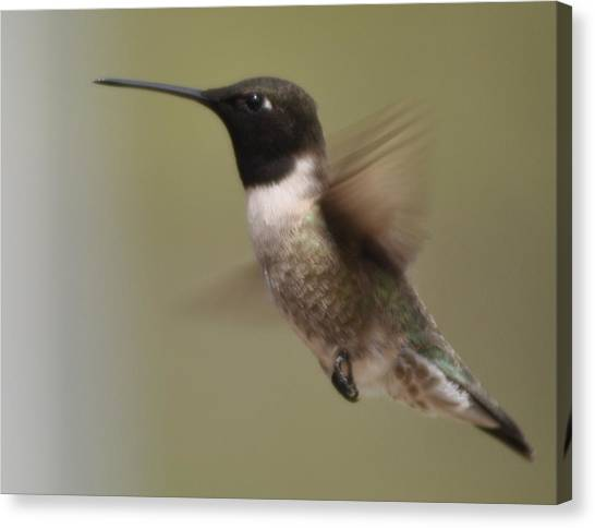 Black-chinned Hummingbird Canvas Print