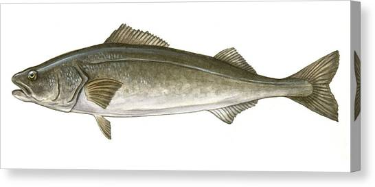 Fillet Canvas Print - Black Cod by Logan Parsons
