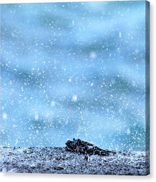 Black Crab In The Blue Ocean Spray Canvas Print