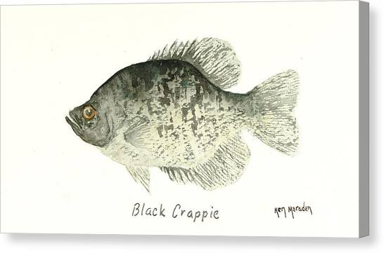 Black Crappie Canvas Print