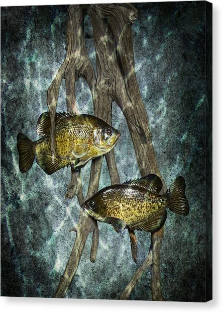 Black Crappies A Fish Image No 0143 Blue Version Canvas Print