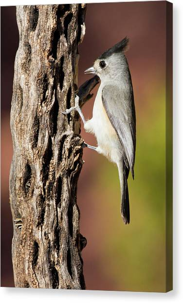 Titmice Canvas Print - Black-crested Titmouse (baeolophus by Larry Ditto