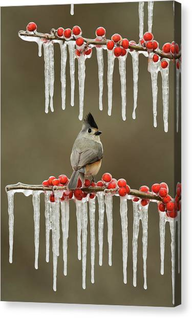 Titmice Canvas Print - Black-crested Titmouse Perched On Icy by Rolf Nussbaumer