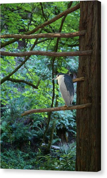 Canvas Print featuring the photograph Black-crowned Night Heron by Ben Upham III