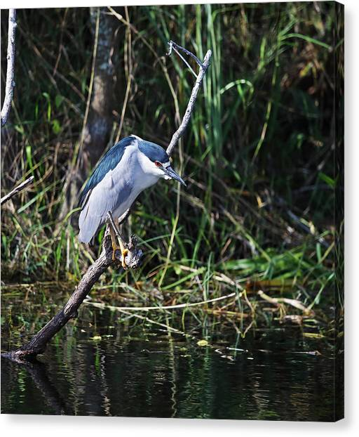 Canvas Print featuring the photograph Black Crowned Night Heron by Jean Clark