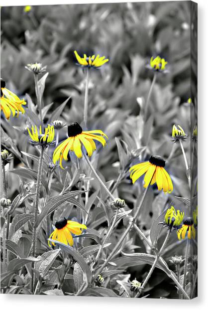Black-eyed Susan Field Canvas Print