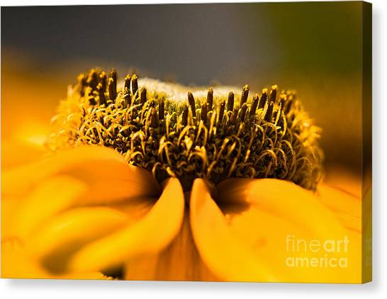Black Eyed Susan Setting Seed Canvas Print