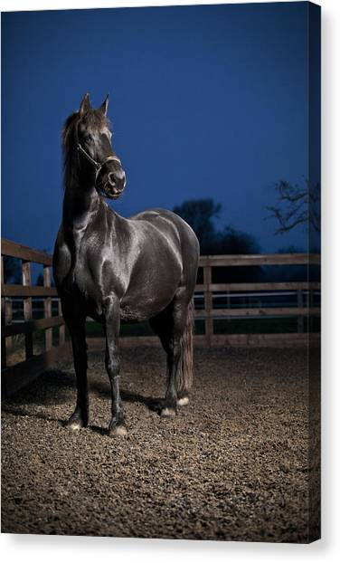 Black Stallion Canvas Print - Black Fiesian Horse by Samuel Whitton