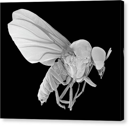 Gnats Canvas Print - Black Fly Adult Male by Dennis Kunkel Microscopy/science Photo Library