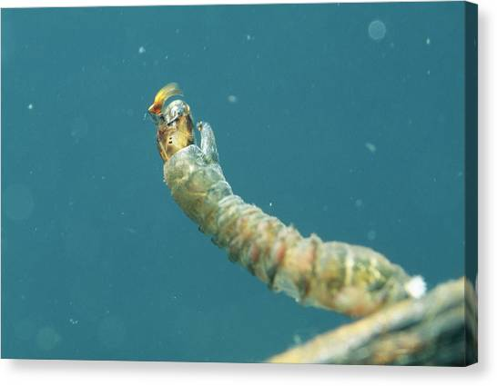 Gnats Canvas Print - Black Fly Larva Feeding by Sinclair Stammers/science Photo Library
