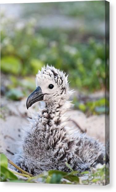 Albatross Canvas Print - Black-footed Albatross / Phoebastria by Daisy Gilardini