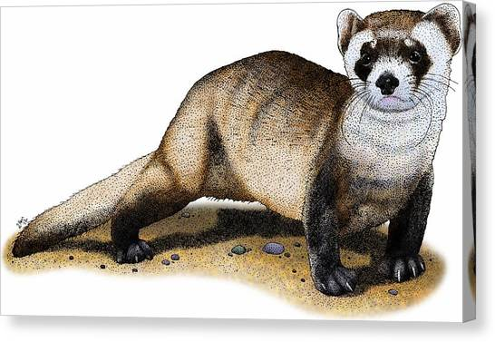 Black-footed Ferret Canvas Print - Black-footed Ferret by Roger Hall