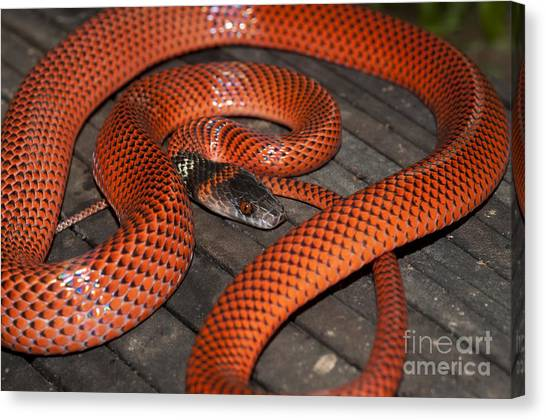 Coral Snakes Canvas Print - Black-headed Calico Snake by William H. Mullins