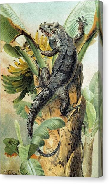Banana Tree Canvas Print - Black Iguana by George Bernard/science Photo Library