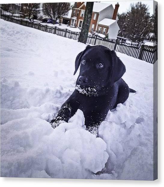 Labrador Retrievers Canvas Print - Black Lab Puppy Playing In The Snow by Sarah Ferrante