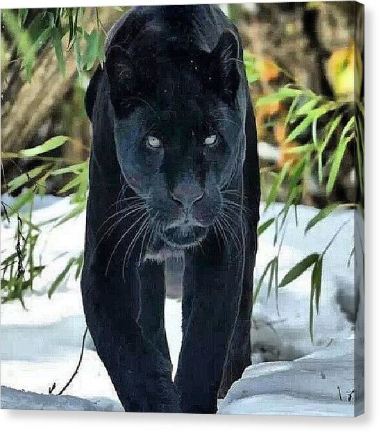 Panthers Canvas Print - Black Panther #blackcat #rp #nature by Brandon Fisher