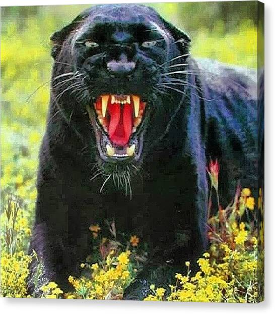 Panthers Canvas Print - Black Panthers #nature #420 #wildlife by Brandon Fisher