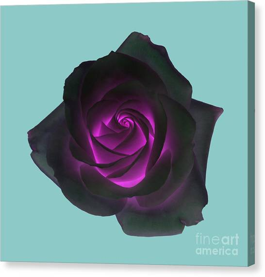 Black Rose With Purple Centre On Pale Turquoise Background. Canvas Print by Rosemary Calvert