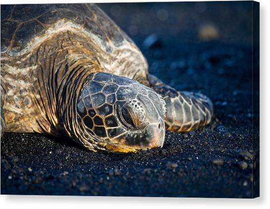 Canvas Print featuring the photograph Black Sand Nap by Denise Bird
