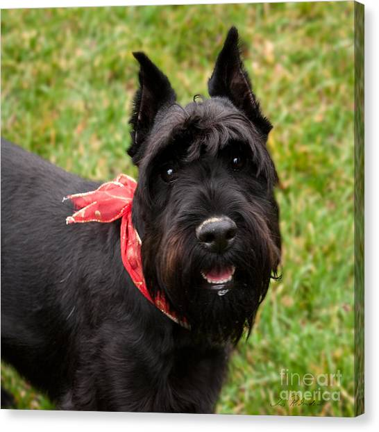 Schnauzers Canvas Print - Black German Schnauzer by Iris Richardson