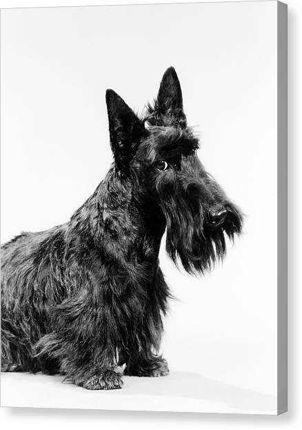 Scotty Canvas Print - Black Scottie Scottish Terrier Dog by Vintage Images