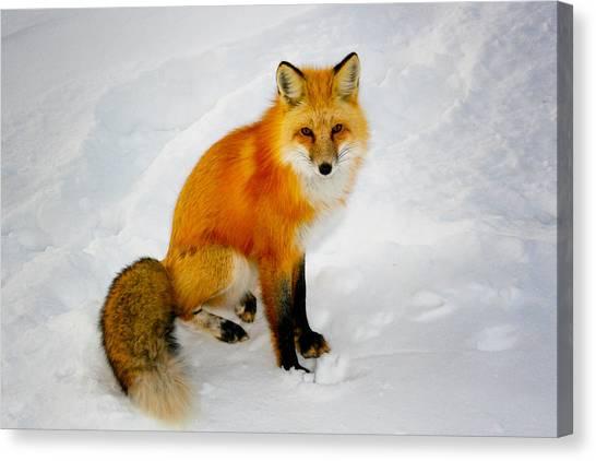 Black Socks Fox Canvas Print