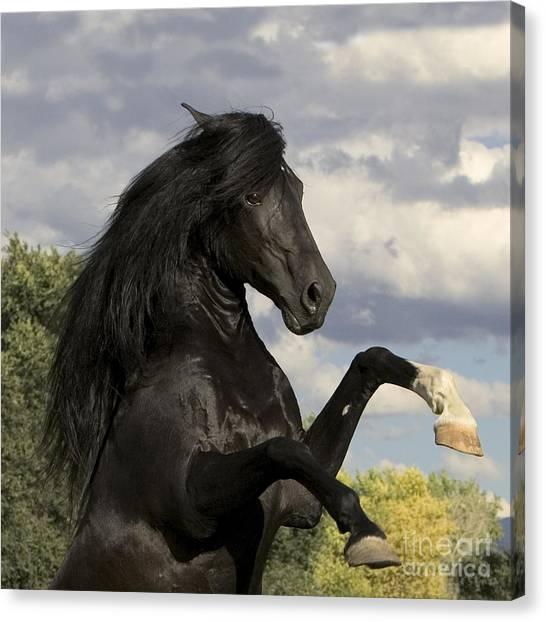 Black Stallion Canvas Print - Black Stallion Rears by Carol Walker