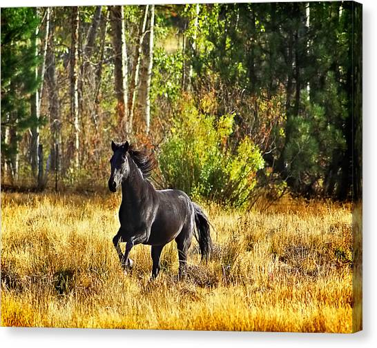 Black Stallion Runs Free Canvas Print