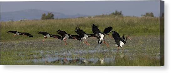 Black Stork Landing. Canvas Print