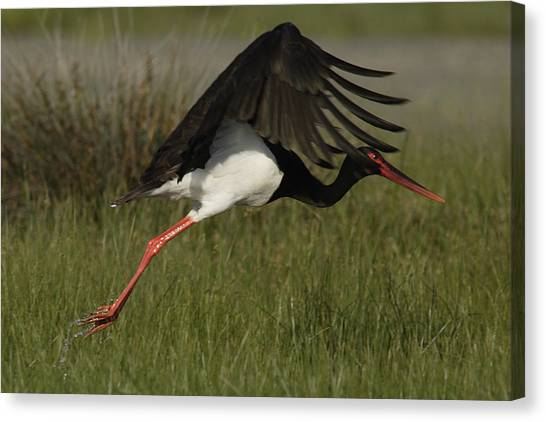 Black Stork Taking Off. Canvas Print