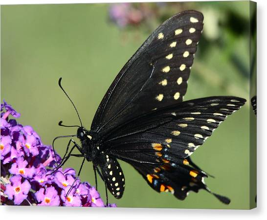 Black Swallowtail Canvas Print by Theo