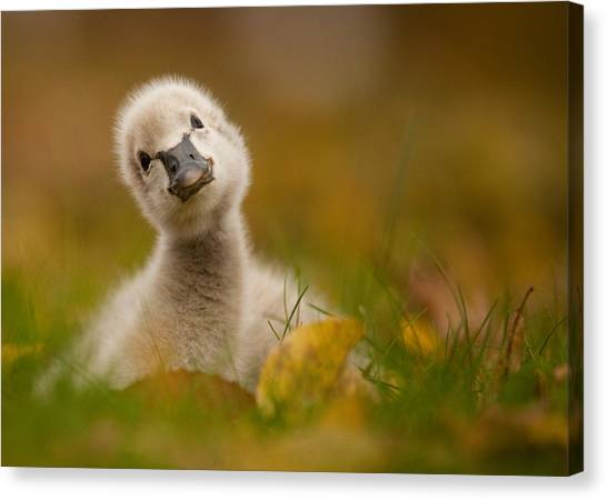 Swan Canvas Print - Black Swan Baby by Robert Adamec