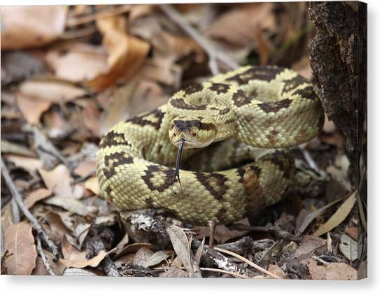 Black-tailed Rattlesnake Canvas Print by Brian Magnier