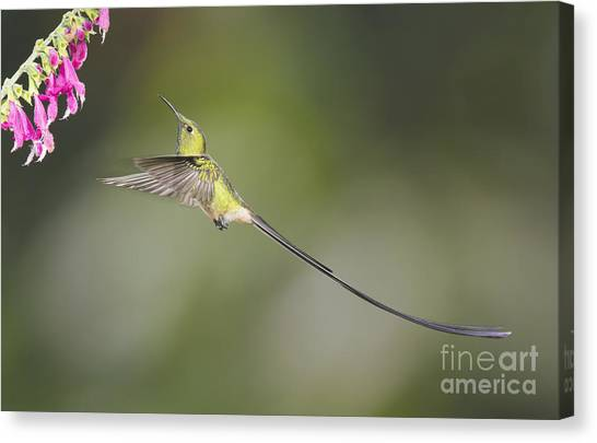 Black-tailed Trainbearer Hummingbird Canvas Print
