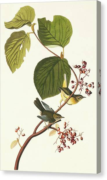 Black-throated Blue Warbler Canvas Print by Natural History Museum, London/science Photo Library