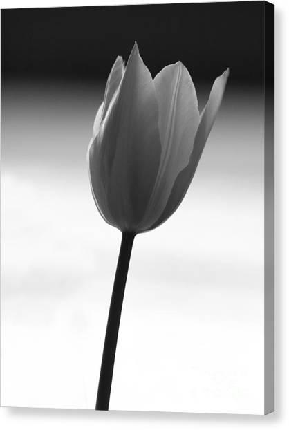 Black Tulip Canvas Print by Carlos Magalhaes