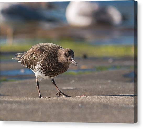 Black Turnstone Canvas Print