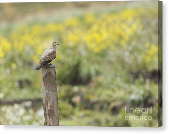 Black-winged Ground Dove Canvas Print