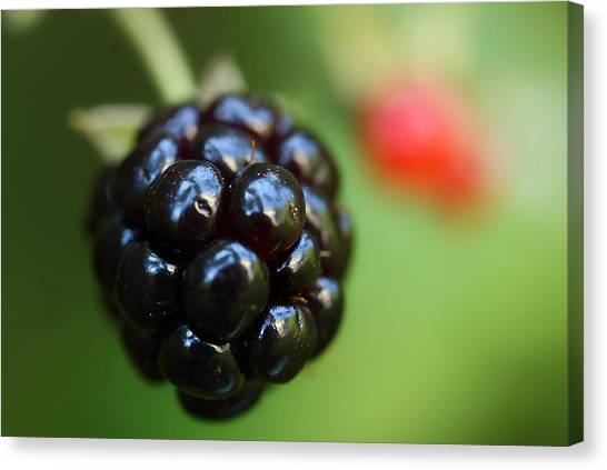 Blackberries Canvas Print - Blackberry On The Vine by Michael Eingle