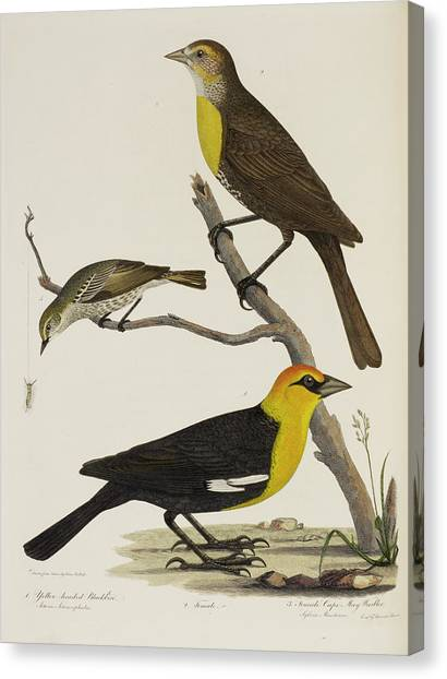Warblers Canvas Print - Blackbird And Warbler by British Library