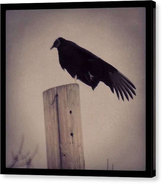 Vultures Canvas Print - #blackbird #blackvulture #vultures by Robb Needham