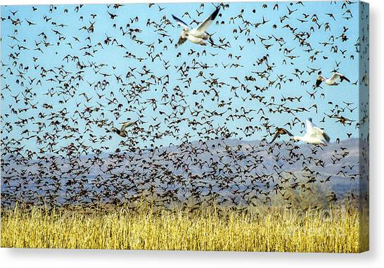 Blackbirds And Geese Canvas Print