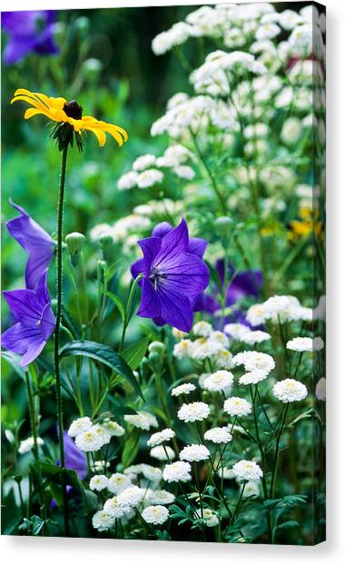 Blackeyed Susan Canvas Print