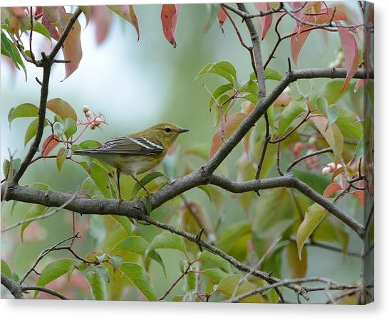 Blackpoll Warbler In The Fall Canvas Print