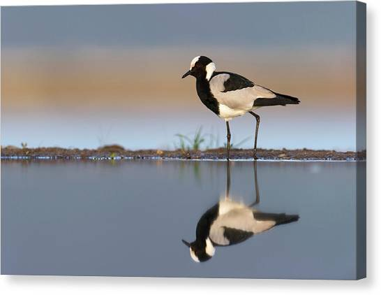 Lapwing Canvas Print - Blacksmith Lapwing by Dr P. Marazzi/science Photo Library