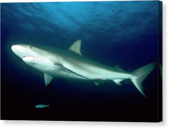 Black Tip Sharks Canvas Print - Blacktip Reef Shark by Louise Murray/science Photo Library